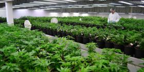 Ottawa to speed up approval process for pot producers